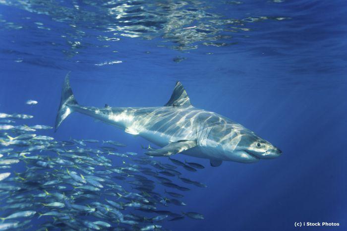 requin-blanc-istockphoto-2-c