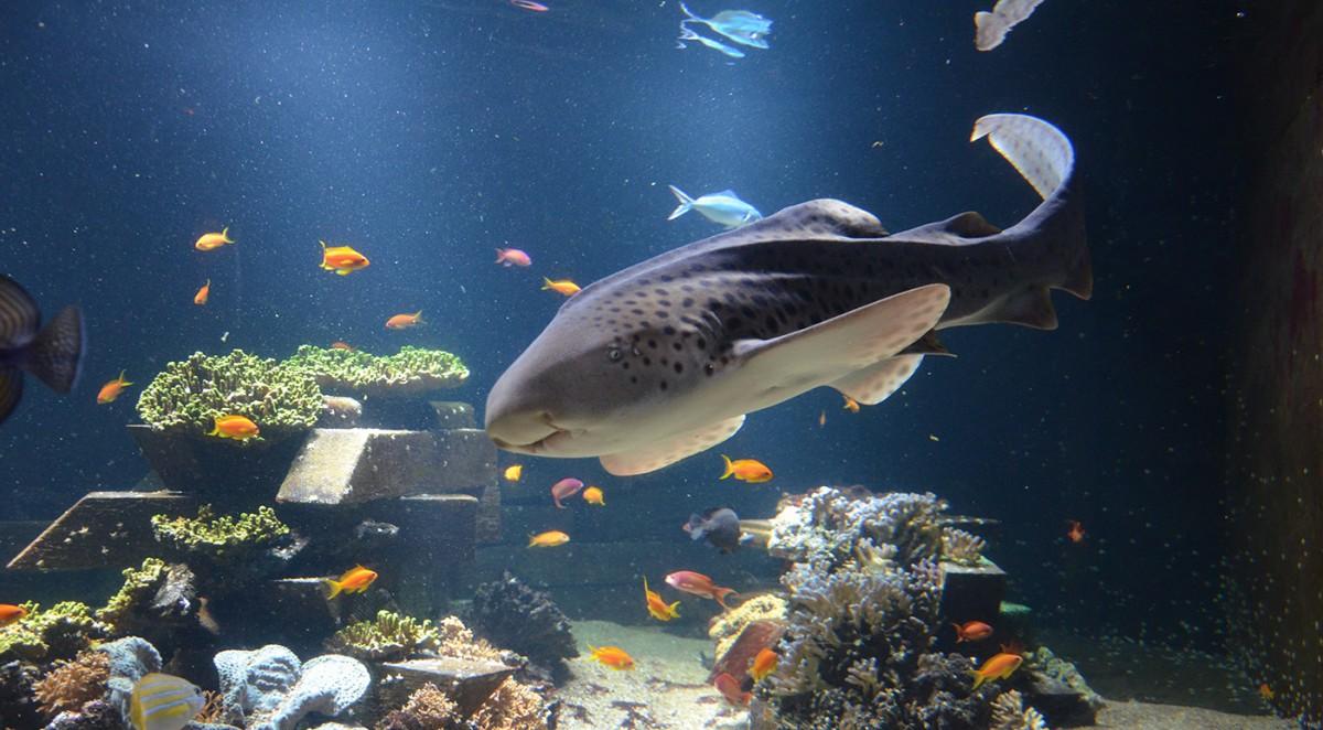 Nausicaa-Requin-zebre